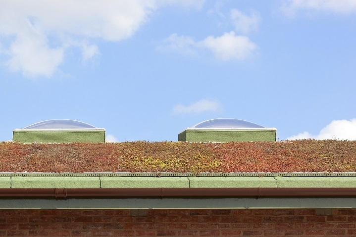 Sedum on green roofing systems.
